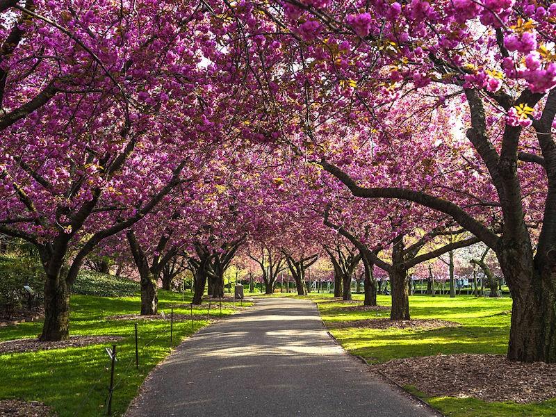 Relief From Accusations- Pink blossoming trees along a paved path