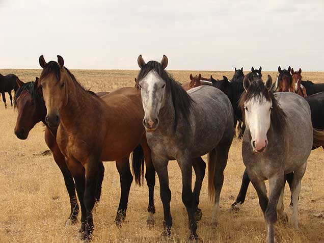Competing with Horses- Three horses in the foreground and more horses behind them
